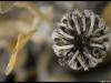 26.09.2012 - Ringelblume (Calendula officinalis)